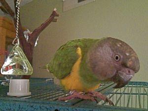 Curious Zazu - Senegal Parrot
